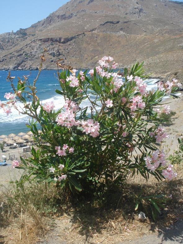 Πικροδάφνες έξω από το Marmari Paradise © beautyworkshop.gr