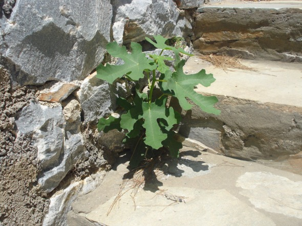 Αγριοσυκιά. Φυτρώνει πάντα εκεί που δεν την σπέρνεις. Εδώ, την βρήκαμε να επιχειρεί να απλώσει ρίζα στα σκαλιά ενός σπιτιού. © beautyworkshop.gr