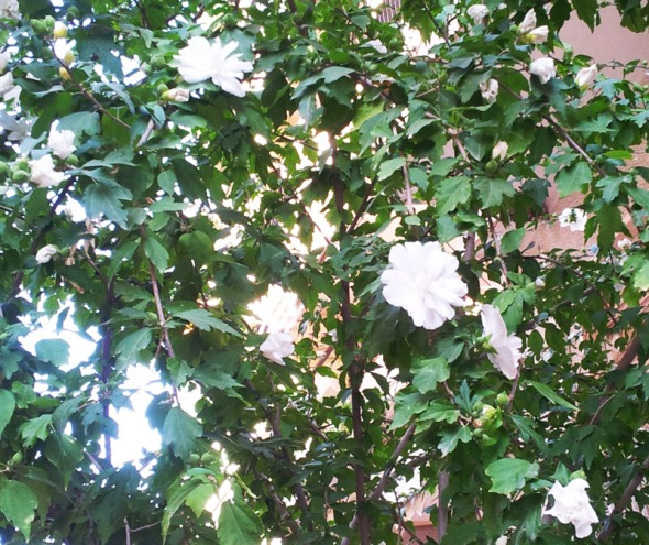 Ένα ολάνθιστο δέντρο στο κέντρο του Πειραιά © beautyworkshop.gr