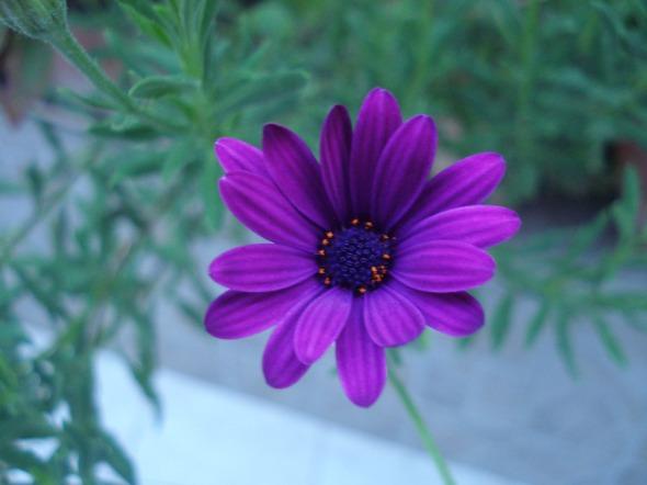 Λατρεύω αυτές τις ιδιότροπες μωβ μαργαρίτες του κήπου μας -άσε που προσπαθώ χρόνια να βρω αυτό το χρώμα σε σκιά, αλλά τζίφος! © beautyworkshop.gr