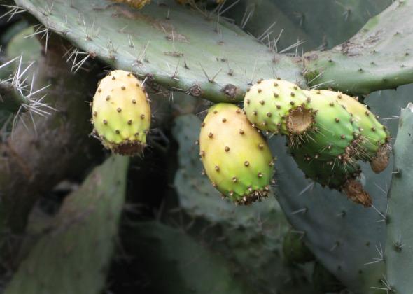 Έχετε δοκιμάσει ποτέ φραγκόσυκα; Αναμφισβήτητα από τα πιο νόστιμα φρούτα που υπάρχουν, μόνο προσοχή: τα κουκουτσάκια δεν τα μασάμε, γιατί είναι θεόπικρα! © beautyworkshop.gr