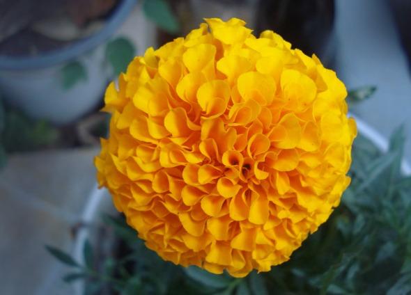 Υπέροχος πορτοκαλοκίτρινος κατιφές από τον κήπο μας © beautyworkshop.gr