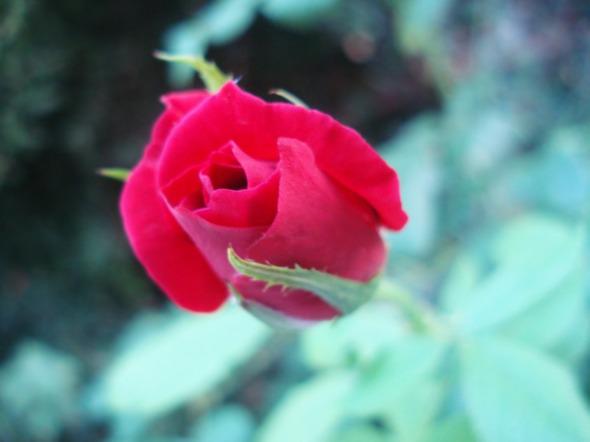 Ο κήπος μας είναι μια σταλιά, αλλά όταν πει να ανθίσει, είναι χάρμα οφθαλμών. Από μια γωνιά του, το ρόδον της φωτογραφίας © beautyworkshop.gr