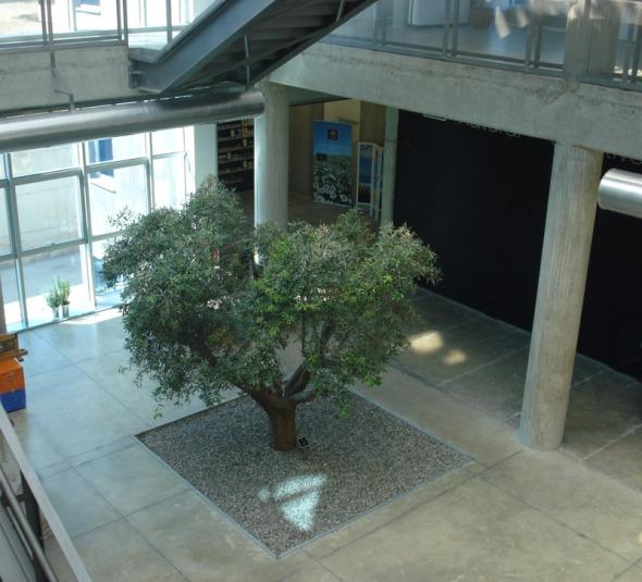 Για να κτιστεί το εργοστάσιο, πολλά δέντρα μετακινήθηκαν και ξαναφυτεύτηκαν. Εκτός από την συγκεκριμένη ελιά, που έμεινε σταθερά στη θέση της. © beautyworkshop.gr