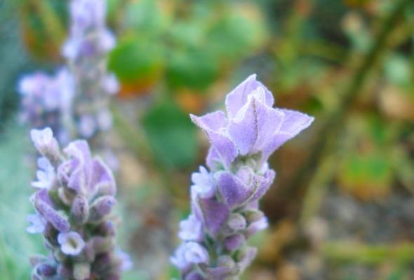 Άνθος βιολογικής λεβάντας, από τον κήπο του εργοστασίου της Apivita. © beautyworkshop.gr