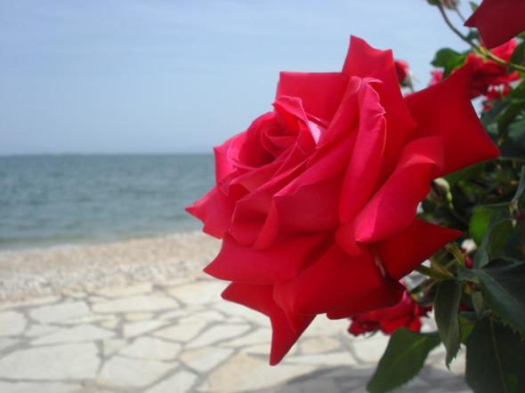 redrose_small