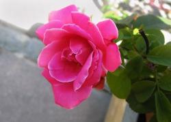 Οι φωτογραφίες λουλουδιών είναι οι αγαπημένες μου, και εφόσον αυτό είναι, ουσιαστικά, το πρώτο ανοιξιάτικο ποστ του μπλογκ, ιδού ένα ρόδο, σε αρκετά καλή ανάλυση για να γίνει wallpaper στον υπολογιστή σας. © beautyworkshop.gr